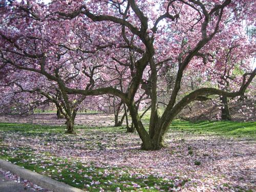 Magnolia Trees Flohaus