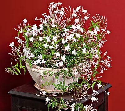 it is known for its unique fragrant flowers and shinny leaves it blooms in january inside the home and in august when planted outside as a